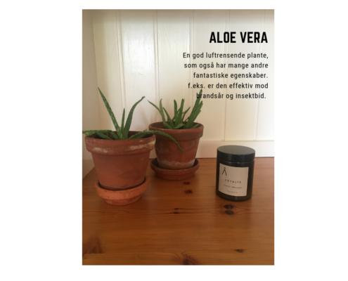 Sund plante aloe vera